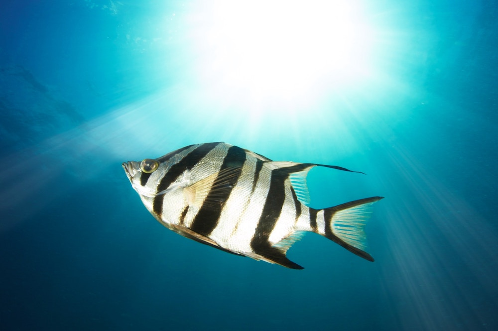 Astrology 101: What Can Your Zodiac Sign Teach You? Zodiac sign with dates; zodiac sign by month; zodiac sign personalities | Happy As Annie (Pisces, the Fish. Black and white striped zebra fish in blue water with light shining overhead)