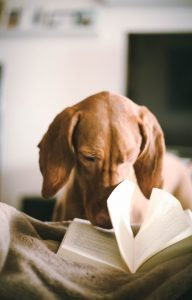 Brown Dauschund dog on bed with nose in open book