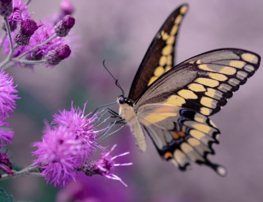 Yellow and black butterfly hovering over purple flowers